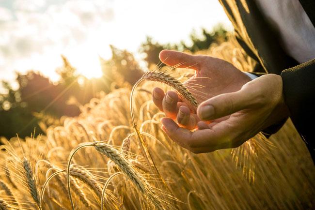 Die Sorte Oberkulmer Rotkorn ist noch eine Urdinkelsorte die NICHT mit dem Weizen gekreuzt ist.