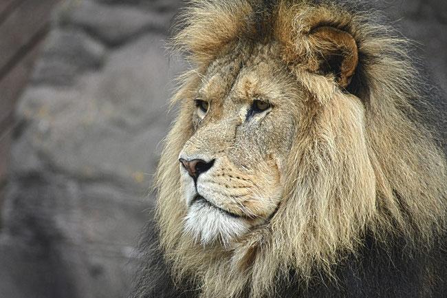 Der Löwe versinnbildlicht den durch Mordechai dargestellten Regenten der Regenten und Herrn der Herren. Jesus Christus ist der Löwe aus Juda. https://www.freudenbotschaft.net/gleichnisse/das-biblische-gleichnis-vom-zum-tumult-gewordenen-zermalmten/