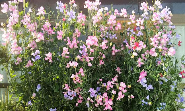 我が家の軒下では今、スイートピーが満開です。 毎年きれいな花と優しいかをりを届けてくれます。               スイートピーの日本での全般的な花言葉は 「門出」「別離」「優しい思い出」「永遠の喜び」「私を忘れないで」そして「蝶のように飛躍する」だそうです。                    2020/4/24 瀬戸