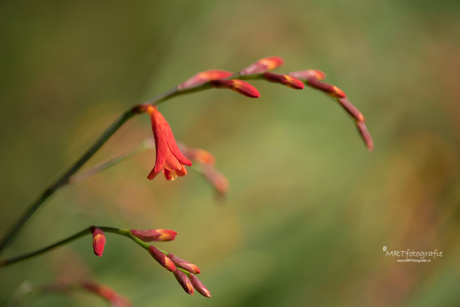 Macro Crocosmia Red King