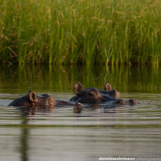 hippo pools - okavango delta botswana