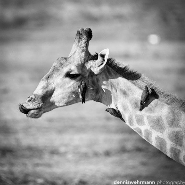 giraffe with oxpeckers, chobe national park botswana