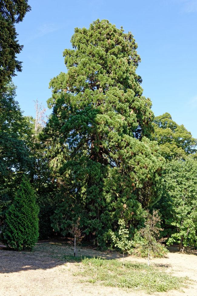 Riesenmammutbaum im Schlosspark Friedrichshof in Kronberg