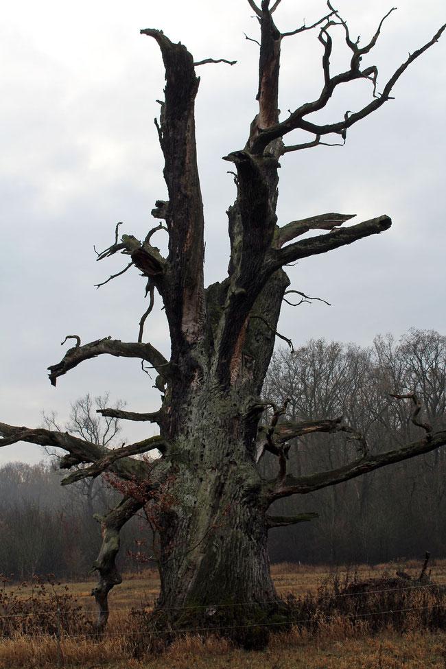 Abgestorbene Eiche beim Forsthaus Leiner Berg (Kupen-Rohrlache) bei Vockerode