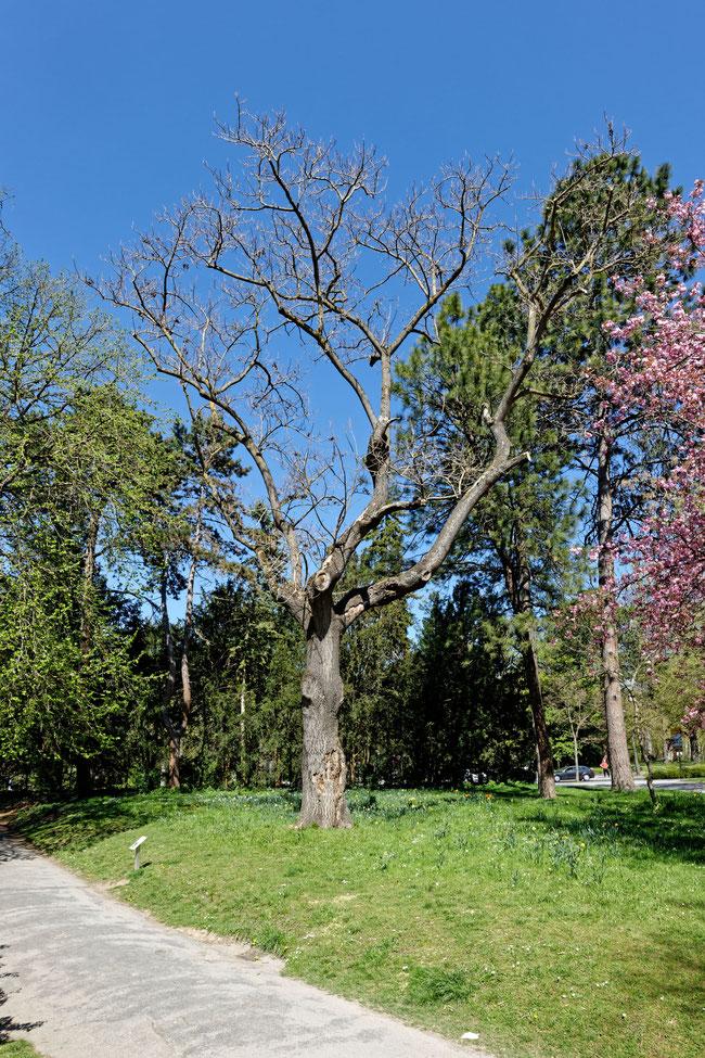 Blauglockenbaum im Ringpark in Würzburg