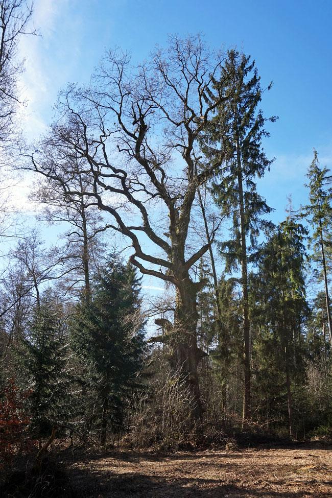 Mühlschlagangereiche bei Engelthal