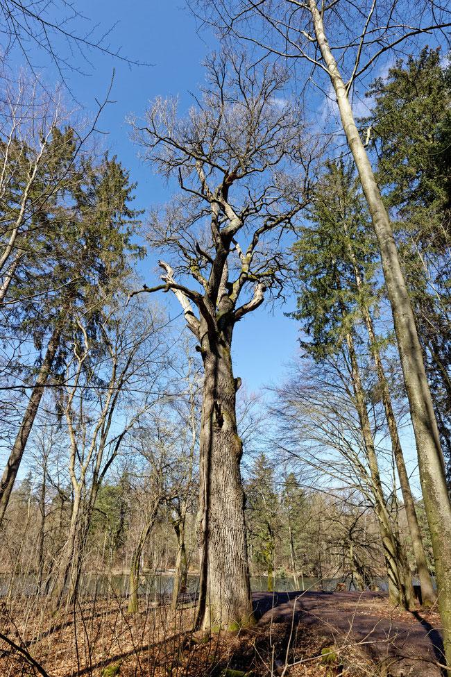 Pfaffeneiche im Rotwildpark Stuttgart bei Stuttgart