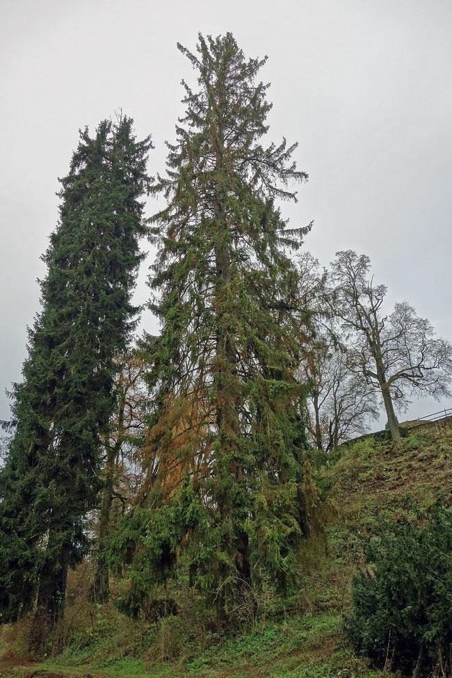 Fichte beim Schloss Eisenbach bei Lauterbach