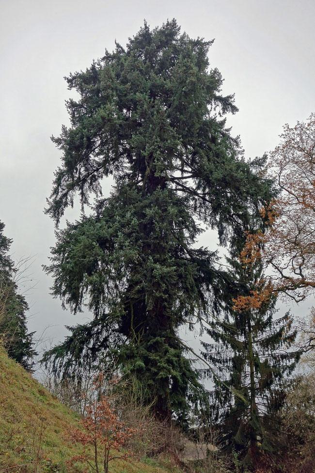 Douglasie beim Schloss Eisenbach bei Lauterbach