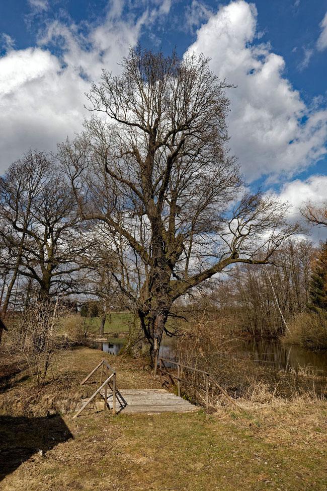 Eiche bei Ascherhütte