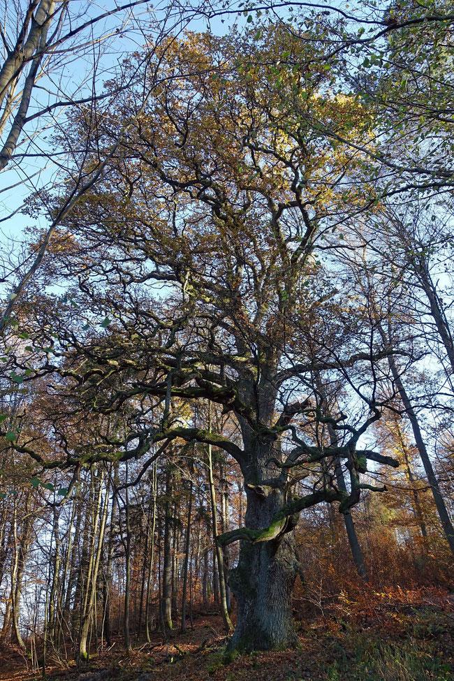 Heilsbergeiche im Roßbacher Forst bei Zeitlofs, Umfang, Brusthöhenumfang, Stieleiche, Eiche, Naturdenkmal