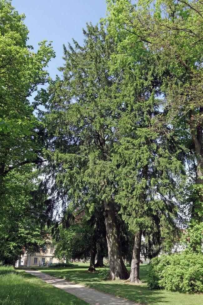 Fichte im Schlosspark Eichenzell