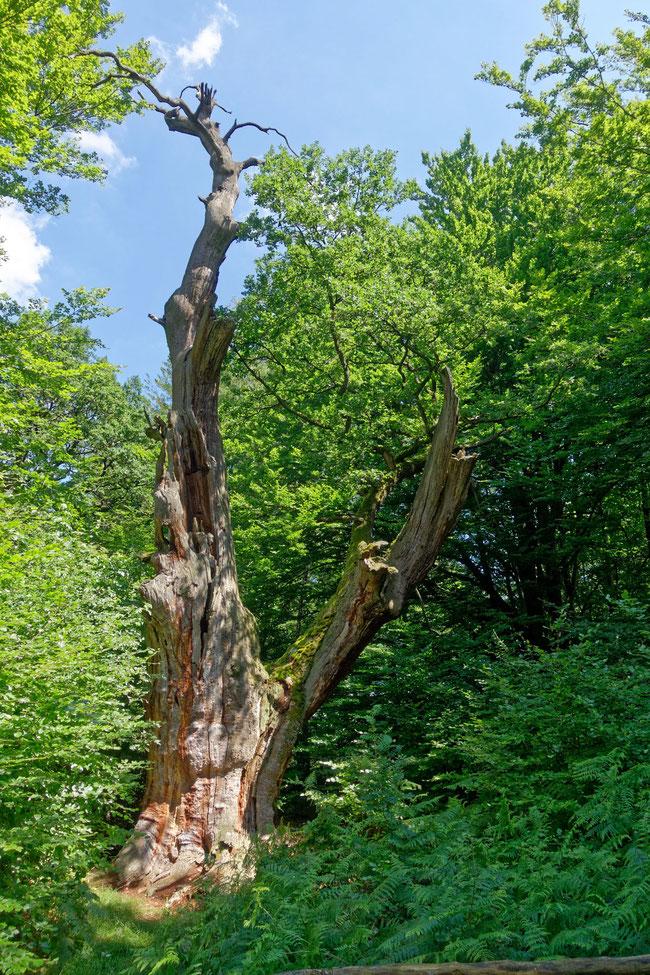 Wappeneiche im Urwald Sababurg