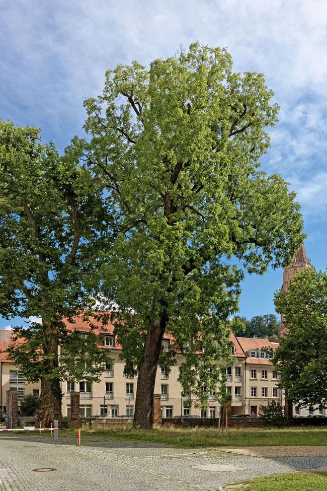 Schwarznuss in Landshut