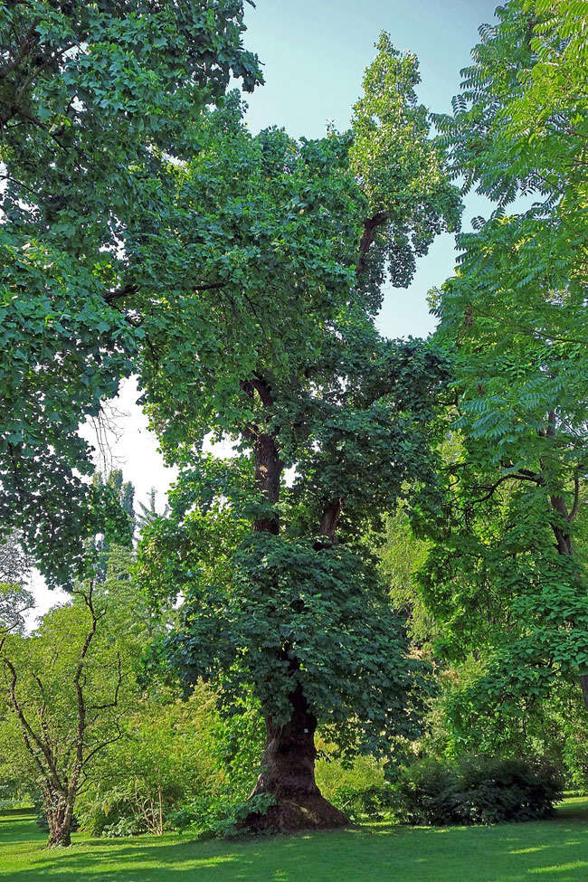 Tulpenbaum im Hohenheimer Garten in Hohenheim