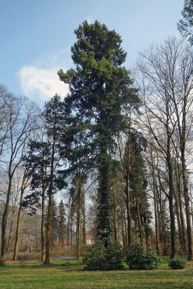 Douglasie im Schlosspark Laudenbach in Laudenbach