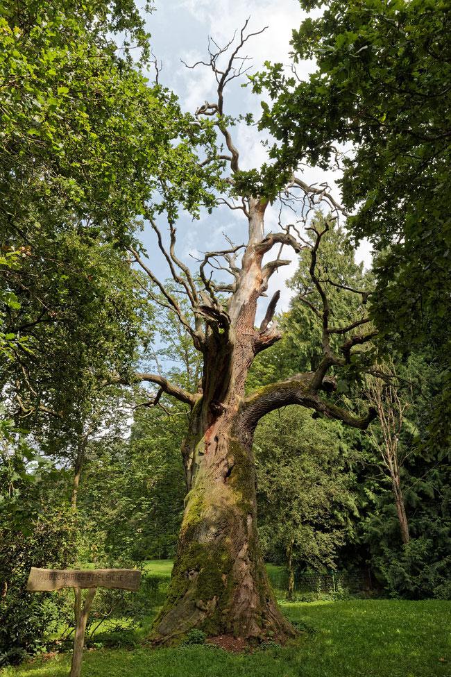 Tausendjährige Eiche im Schlosspark in Gadow