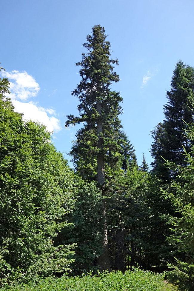 Große Waldhaustanne im Hans-Watzlik-Hain bei Bayerisch Eisenstein
