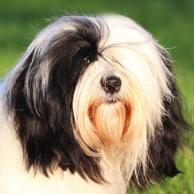 Tibet Terrier Rüde, schwarz-weiß, November 2020