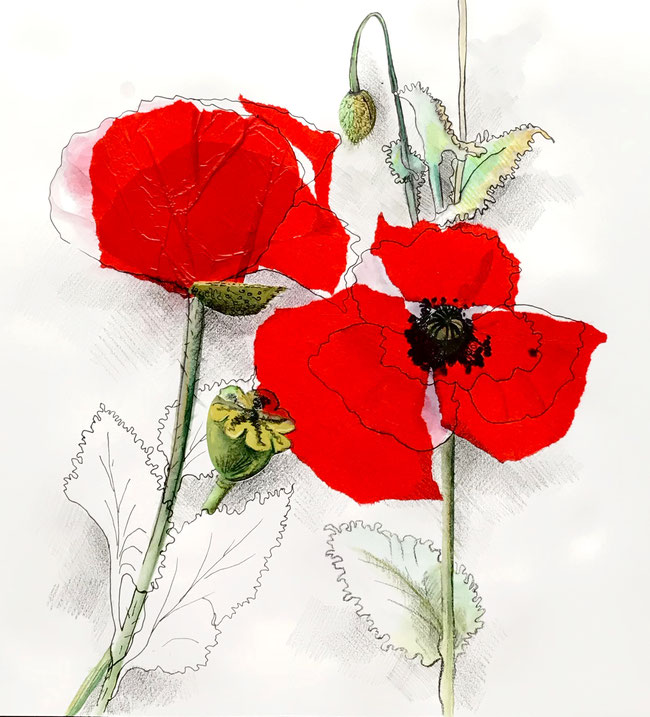 COQUELICOTS N°1 - 50 X 50
