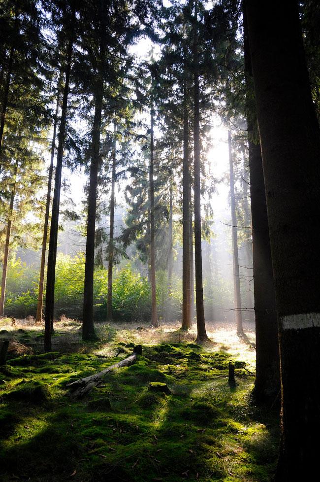 Am besten entdeckt man die die Lüneburger Heide zu Fuß oder mit dem Rad. Hier leuchtet noch die späte Nachmittagssonne durch die Bäume im Wald.