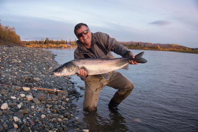 Inconnu Sheefish am Kobuk River, Alaska