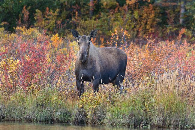Moose at the Kobuk River