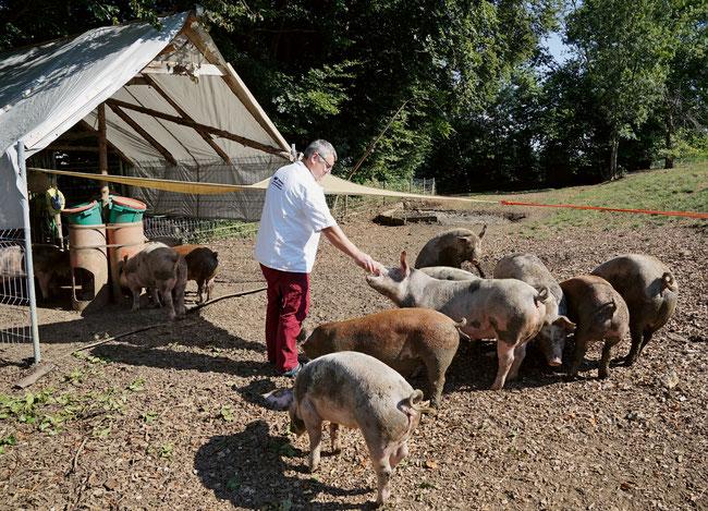 Der Wittnauer «Kronen»-Wirt Michel Schmid hegt und pflegt seine Freiland-Säuli für die traditionelle Metzgete.