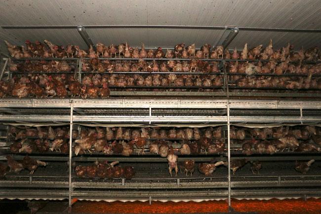 Legehennen in einer Voliere; Foty by: Animal Rights Watch e.V.