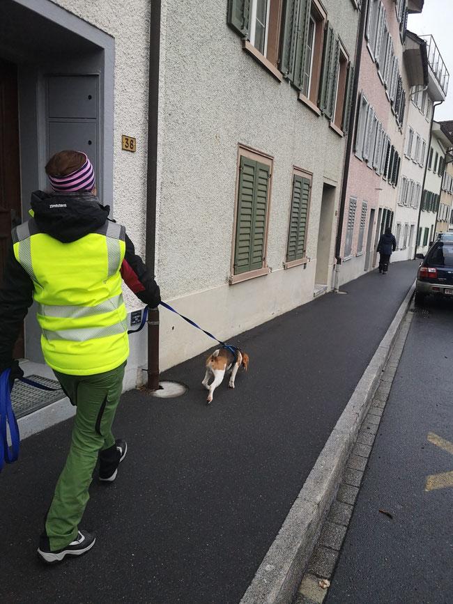 """""""Minu"""" der erst 19 Monate Suchhund in Ausbildung hatte sein Frauchen zu suchen. Kurz vor dem Ziel. Links die Trainerin, der straff ziehende Minu und die dunkle Gestalt gut 20 Meter voraus, die er suchen sollte."""