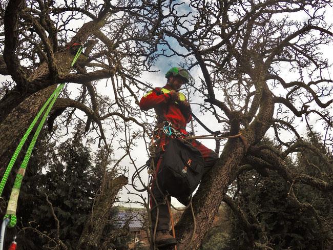 Die Kronensicherung ist wichtiger Bestandteil der Baumpflege. Hier im Einsatz in Köln - Kletter Support GmbH