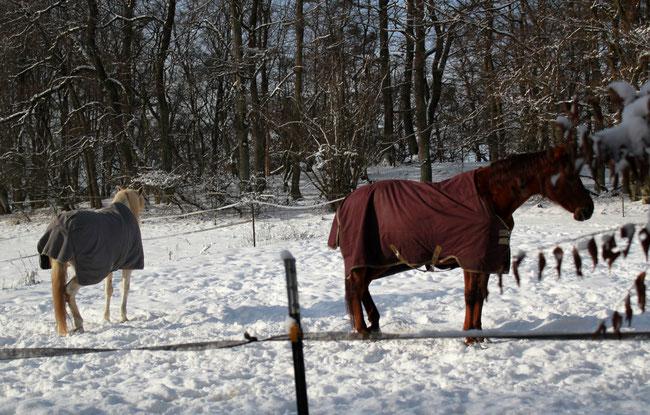 Zwei Pferde auf Weide im Winter