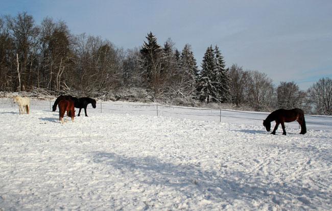 Vier Pferde auf Weide im Schnee