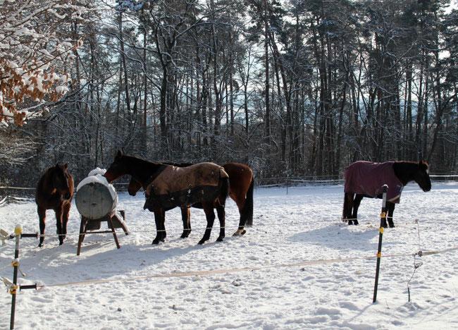 Vier ältere Pferde auf Weide im Winter