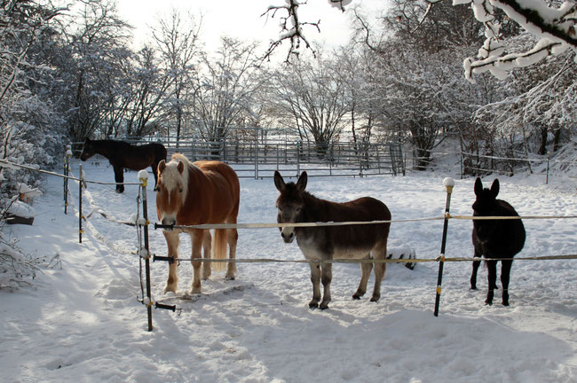 Zwei Pferde und zwei Esel auf einer Weide im Winter