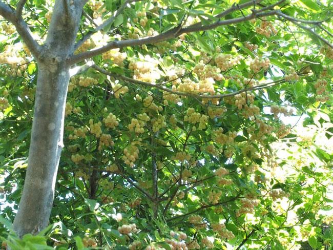 サラサドウダン:こんな大木に出会ったのは初めてです。