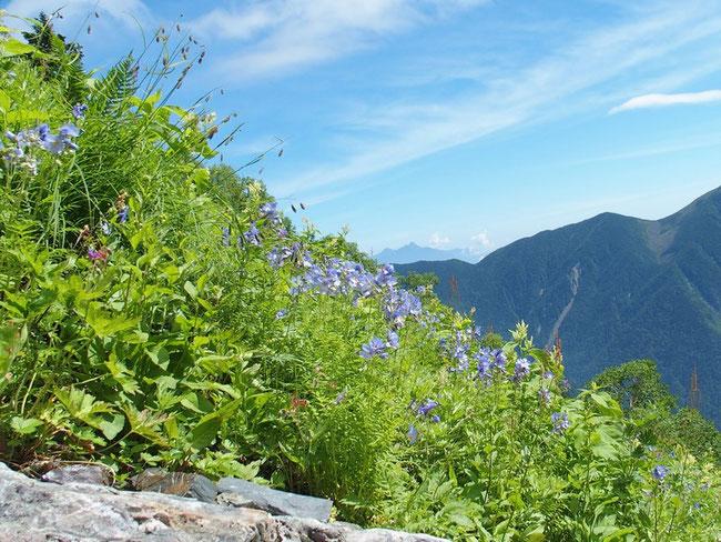 ミヤマハナシノブの群生です。今が一番元気に咲いているようで見事です。                      大樺沢二股あたりにたくさん咲いていてなぜほかの山で見られないのか不思議です。