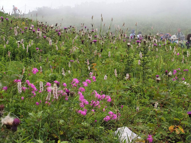 イブキトラノオも伊吹山を冠したポピュラーな花の代表格です。