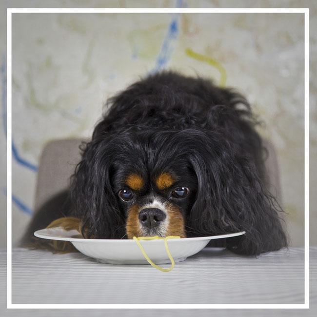 Cavalier King mangia dieta casalinga