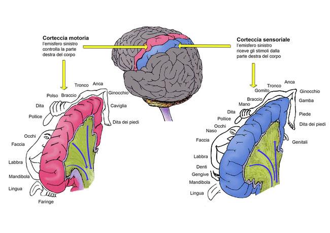 Aree sensoriali e motorie della corteccia cerebrale.