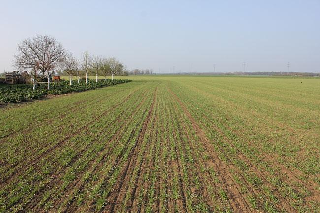 links behandelte Fläche & rechts unbehandelte Pflanzen