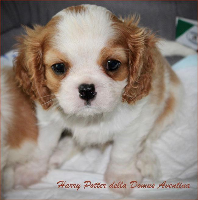 Harry Potter della Domus Aventina - cucciolo Cavalier King Charles Spaniel