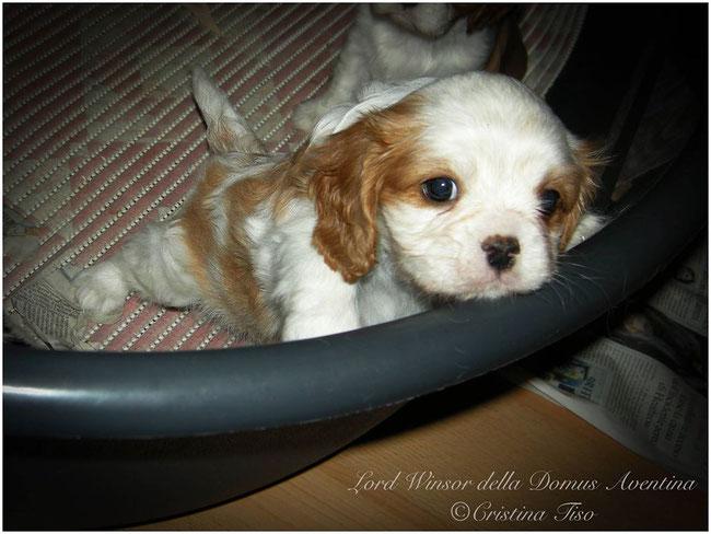 Scott il mio cucciolo di Cavalier King Charles Spaniel