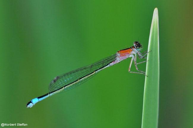 "Große Pechlibelle (Ischnura elegans) Junges Weibchen in der Jugendform ""infuscans obsoleta""."