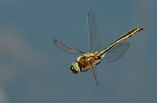 Falkenlibelle - Gemeine Smaragdlibelle ( Cordulia aenea)