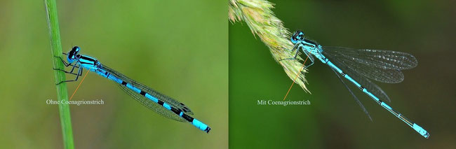 Gemeine Becherjungfer (Enallagma cyathigerum) links, Hufeisen-Azurjungfer (Coenagrion puella) rechts
