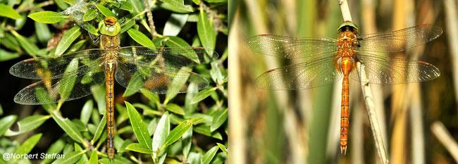 Keilfleck Mosaikjungfer - Aeshna isoceles, Weibchen links -  Männchen rechts.