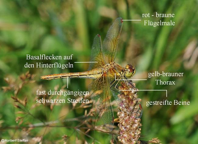 Gefleckte Heidelibelle (Sympetrum flaveolum) Männchen, Weibchen