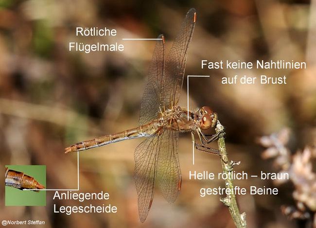 Südliche Heidelibelle (Sympetrum meridionale)