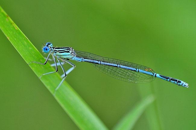 Blaue Federlibelle - Platycnemis pennipes Männchen